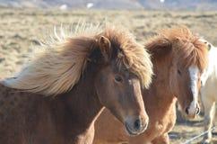 Пары исландских лошадей с гривами дунутыми ветром Стоковое Фото