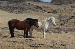 Пары исландских лошадей Стоковые Изображения RF