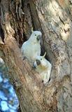 Пары какаду гнездясь в полости дерева Стоковые Фото