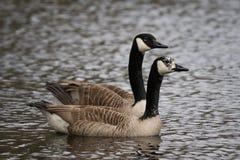 Пары канадских гусынь плавая в пруде Стоковое Фото