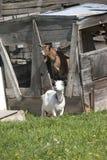 Пары коз Стоковая Фотография RF