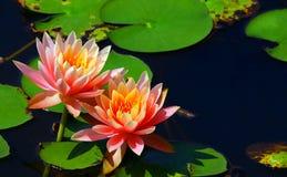 Пары красивых розовых лилий воды стоковое фото rf