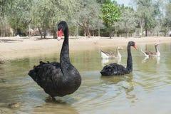 Пары красивых черных лебедей плавая совместно в озере Стоковое Изображение