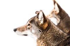 Пары красного волка в снеге II Стоковое фото RF