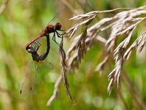 Пары красного dragonfly Стоковая Фотография