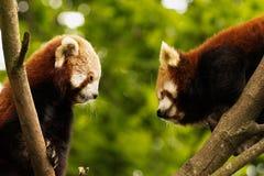 Пары красной панды стоковое фото