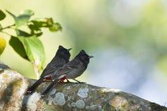 Пары Красно-провентилированной птицы bulbul в Непале Стоковые Фотографии RF