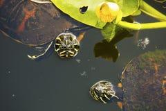 Пары красно-bellied черепах cooter в болотистых низменностях ` s Флориды стоковое фото