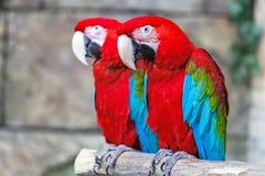 Пары красных попугаев ara Стоковые Изображения RF