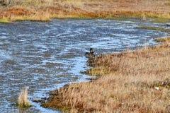Пары кряквы в воде Стоковая Фотография
