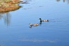 Пары кряквы в воде Стоковое Изображение RF