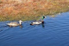 Пары кряквы в воде Стоковые Фотографии RF