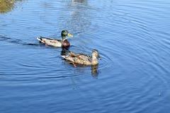 Пары кряквы в воде Стоковые Фото