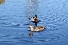 Пары кряквы в воде Стоковое Изображение