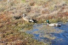 Пары кряквы в воде Стоковое Фото