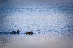 Пары кряквы Стоковая Фотография RF