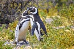 Пары ласкового пингвина Magellanic на запасе PuntaTombo, Аргентине Одна из самой большой колонии пингвина в мире, Patagoni Стоковая Фотография