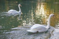 Пары лебедей на воде Стоковые Изображения