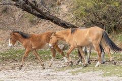 пары лошадей одичалые Стоковые Изображения