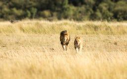 Пары льва в Masai Mara Стоковое фото RF