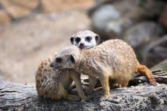 Пары любознательних meerkats (suricatta Suricata) Стоковые Фотографии RF
