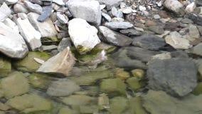 Пары лягушки играя в чисто воде сток-видео