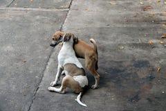 Пары малой собаки gayly играют совместно на конкретном поле стоковые фото