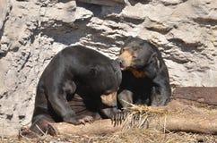 Пары 2 медведя Солнця Стоковое Изображение RF