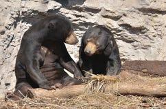 Пары 2 медведя Солнця Стоковое Изображение