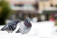 Пары милых голубей сопрягая весной Стоковые Изображения