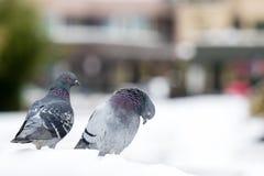 Пары милых голубей сопрягая весной Стоковое Изображение