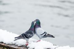 Пары милых голубей сопрягая весной Стоковая Фотография RF