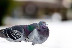 Пары милых голубей сопрягая весной Стоковое Фото