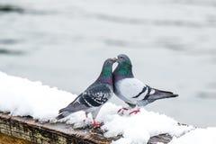 Пары милых голубей сопрягая весной Стоковые Фотографии RF