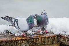 Пары милых голубей сопрягая весной Стоковые Фото