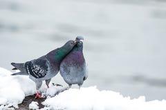 Пары милых голубей сопрягая весной Стоковое Изображение RF