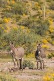 Пары милых одичалых burros в пустыне Стоковое Изображение