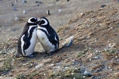 Пары милых magellan пингвинов Стоковое Изображение RF