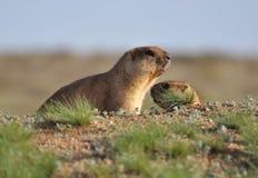 Пары молодых groundhogs Стоковые Фотографии RF