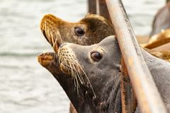 пары морских львов смотря вне к Тихому океану стоковые изображения rf