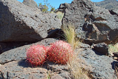 Пары молодых кактусов бочонка приближают к черной горе, он Стоковые Фотографии RF