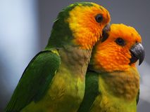 Пары мужского коричнев-throated длиннохвостого попугая против предпосылки bokeh в Бонайре, Нидерландские Антильские острова Стоковое Изображение