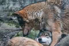 Пары мужчины серых волков и женской волчанки волка стоковая фотография rf