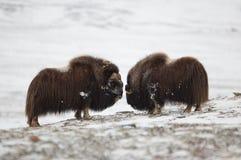 Воюя пары Мускус-вола в Norge Стоковое Изображение