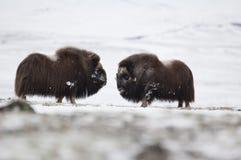 пары Мускус-вола в Norge в нации Dovrefjell паркуют Стоковое Изображение RF