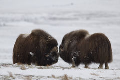 пары Мускус-вола в Norge в нации Dovrefjell паркуют Стоковая Фотография