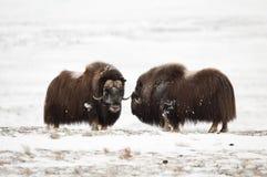 пары Мускус-вола в Norge в нации Dovrefjell паркуют Стоковые Фото