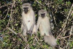 Пары обезьяны Vervet Стоковая Фотография