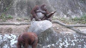 Пары обезьян орангутана сток-видео