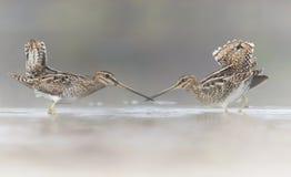 Pair of Common Snipe in love Стоковое Изображение RF